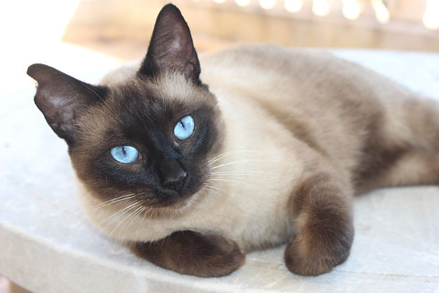 Why We Love Ragdoll Cats